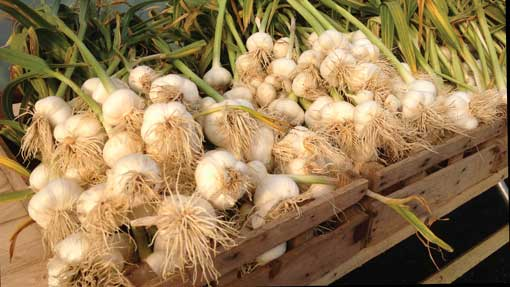 Farmer swaps sheep flock for niche garlic crop
